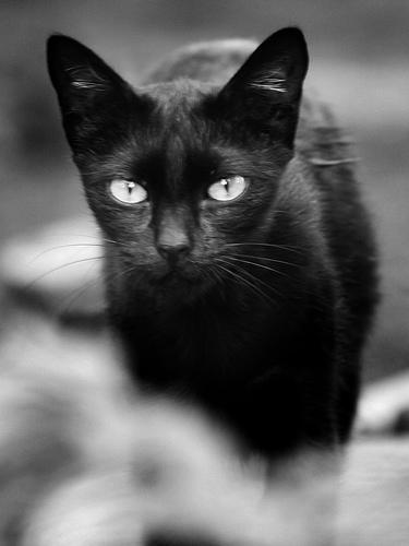 Black Cat Barre